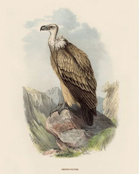 Fine Art Print of the Griffon Vulture by O V Riesenthal (1876)
